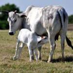 गाईच्या शेणापासून डास निर्मूलक धूपबत्ती
